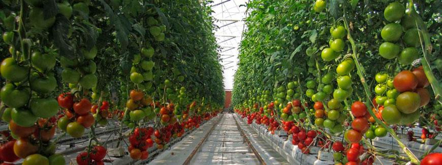 Tomates produzidos pela sundrop farm